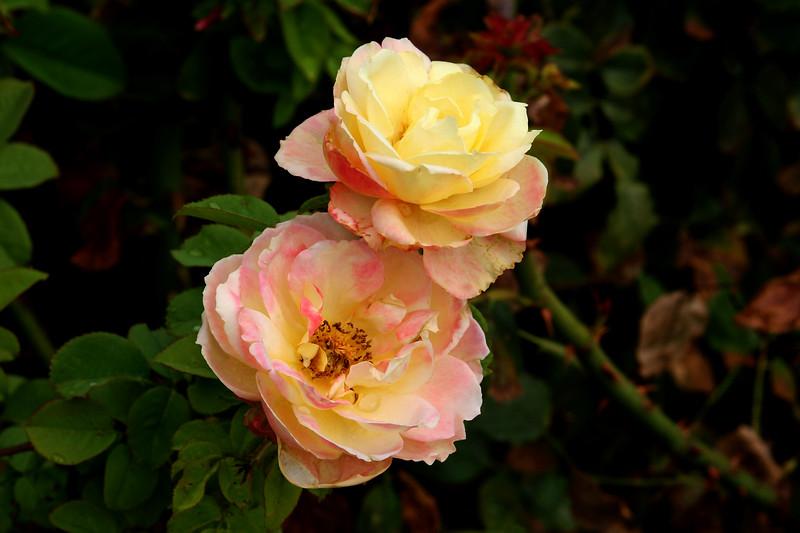Rose-Regensberg-2005-07-23-0001