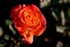 Rose-The World-2006-04-01-0001