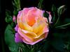 Rose-Pink Parfait-2003-07-25-0001