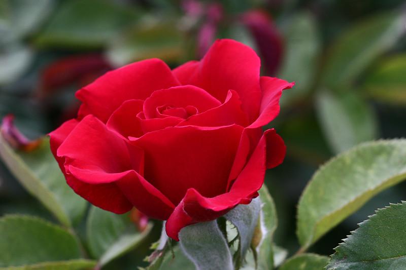 Rose-Crimson Glory-2007-06-10-0001
