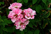 Rose-Rambler-2005-07-23-0001