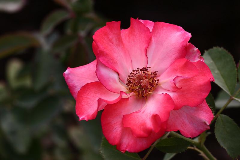 Rose-Sadler's Wells-2007-06-10-0001