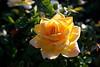 Rose-Peace-2006-04-01-0001