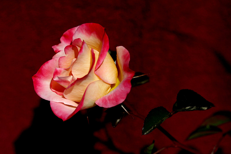 Rose-Double Delight-2007-01-09-0003