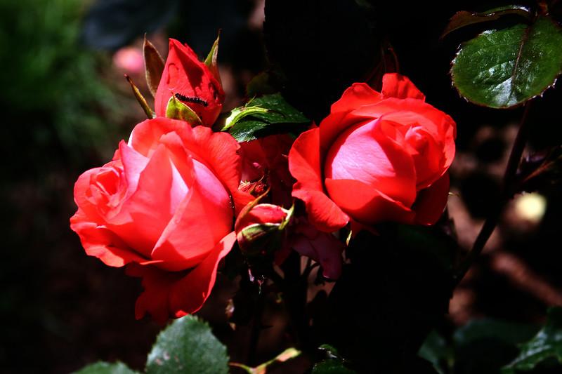 Rose-Marmalade Skies-2006-09-07-0001