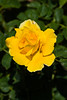 Rose, Midas Touch-HT-2011-04-10-0002