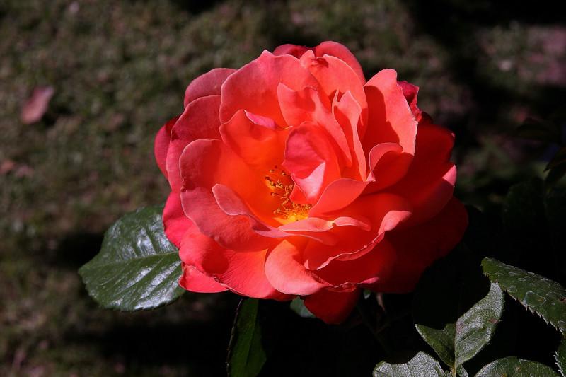 Rose-Josephs Coat-2005-04-11-0001