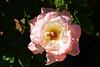 Rose, Pristine-HT-2011-04-17-0001