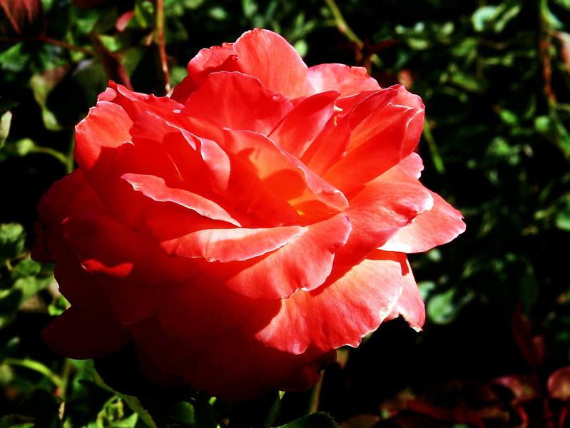 Rose-Fragrant Cloud-2005-04-26-0005