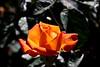 Rose-Super Star-2007-04-01-0001