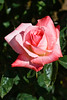 Rose, Barbara Bush-HT-2011-04-17-0001