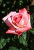 Rose, Barbara Bush-HT-2011-04-17-0001