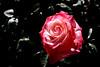 Rose-Nicole-2007-04-01-0001
