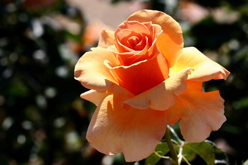Rose-Julia's Rose-2007-04-01-0001