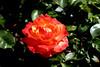 Rose-Sunrise at Heirloom-2007-04-01-0001