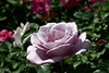 Rose-Starlight-2007-04-01-0001