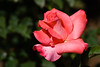Rose, Touch of Class-HT-2011-04-17-0002