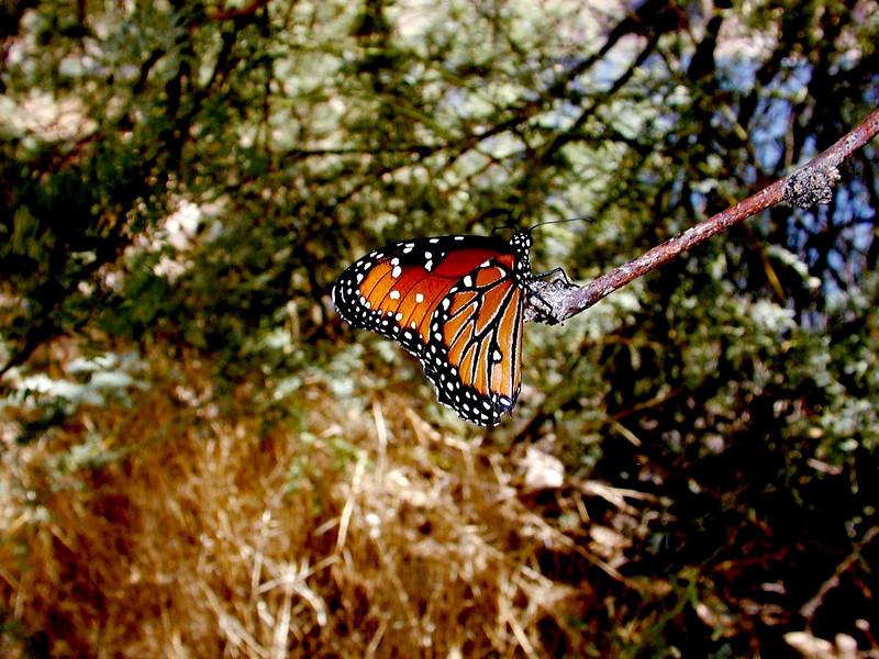 Butterfly-2003-09-05-0001