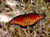 Butterfly-2003-09-05-0002