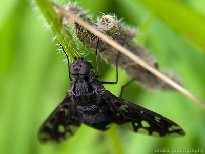 Tiger Bee Fly - Xenox tigrinus