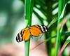 Butterfly - Isabella's Longwing