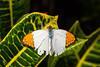 Butterfly - Great Orange Tip