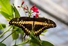 Butterfly - Giant Swallowtail (Papilio cresphontes)