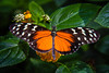 Butterfly - Hecale Longwing
