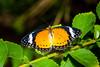 Malay Lacewing