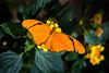 Butterfly - Julia Heliconian