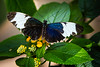 Butterfly - Sapho Longwing