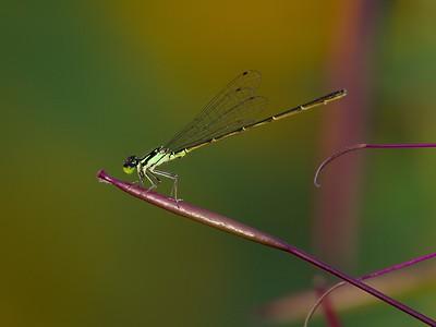 Citrine Forktail (Ischnura hastata) - Male