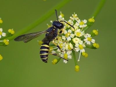 Mason Wasp  (Ancistrocerus antilope)