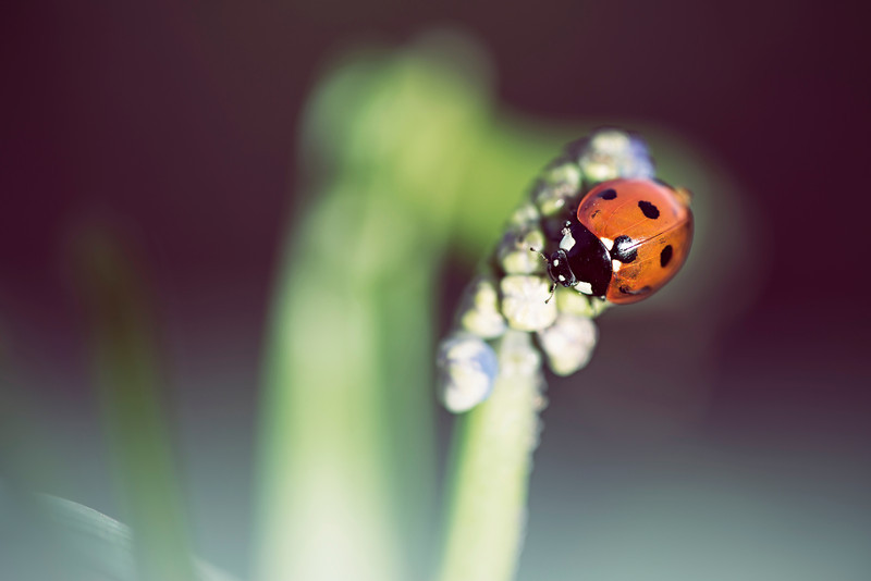 Ladybird on Flower