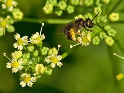 Sweat Bee (halictus confusus)