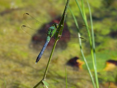 Eastern Pondhawk  (Erythemis simplicicollis) - Male