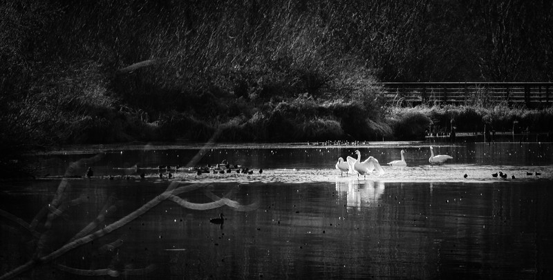 Swans at Juanita Bay