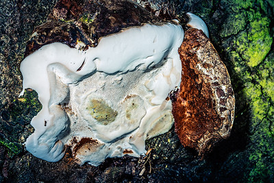 White Shelf Fungus