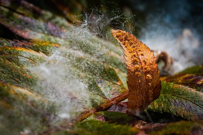 Fern Leaf and Cottonwood Tree Seeds