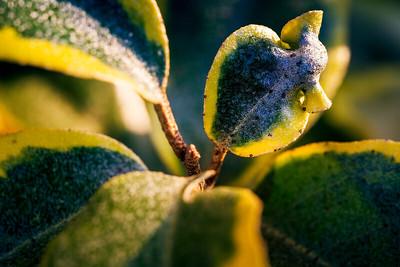 Listening Leaf