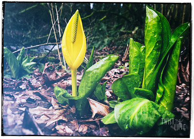 Yellow Skunk Cabbage