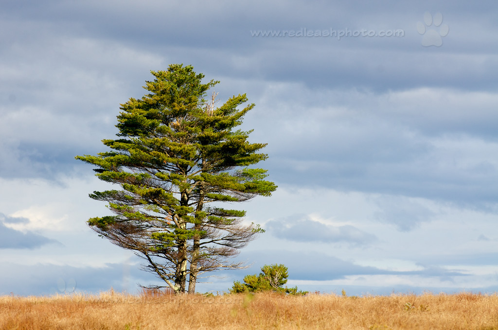 Tree in a Maine Field