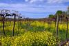 North East Vineyard 2