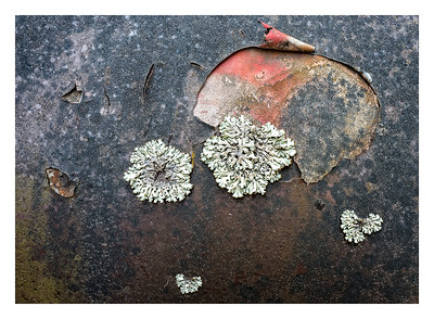 Lichen growing on an old truck hood with peeling paint and rust.