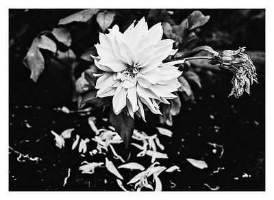 Petal by petal these flowers begin to leave this world.