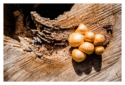 Mushrooms growing on a tree stump along California Ave SW in West Seattle.