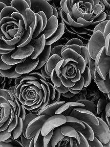 Succulent, CA