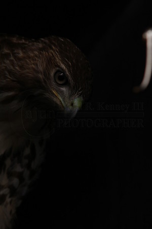 Red-tailed Hawk - This Photo was taken at Van's Deer Processing and Sporting Goods in Cullman, Alabama during their one year anniversary sale. Photography By Lloyd R. Kenney III (C) 2012 All Rights Reserved