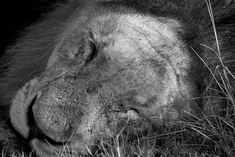 """Adult male lion sleeping, South Africa.  Follow me on: <a href=""""https://www.facebook.com/PhilipCormackPhotography"""" rel=""""nofollow"""">Facebook</a>   <a href=""""https://twitter.com/Philip_Cormack"""" rel=""""nofollow"""">Twitter</a>   <a href=""""http://www.flickr.com/people/philip_cormack_photography/"""">Flickr</a>   <a href=""""https://pinterest.com/philipcormack/"""" rel=""""nofollow"""">Pinterest</a>   <a href=""""http://www.modelmayhem.com/PhilipCormackPhotography"""" rel=""""nofollow"""">Model Mayhem</a>"""