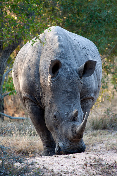 """Adult Rhino - This once actually charged at our 4x4..... South Africa.  Follow me on: <a href=""""https://www.facebook.com/PhilipCormackPhotography"""" rel=""""nofollow"""">Facebook</a>   <a href=""""https://twitter.com/Philip_Cormack"""" rel=""""nofollow"""">Twitter</a>   <a href=""""http://www.flickr.com/people/philip_cormack_photography/"""">Flickr</a>   <a href=""""https://pinterest.com/philipcormack/"""" rel=""""nofollow"""">Pinterest</a>   <a href=""""http://www.modelmayhem.com/PhilipCormackPhotography"""" rel=""""nofollow"""">Model Mayhem</a>"""